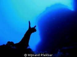 Nudibranche silhouet by Wijnand Plekker 